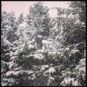 snow evergreens