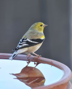 2015 Worried Goldfinch
