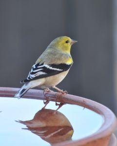2015 Worried Goldfinch